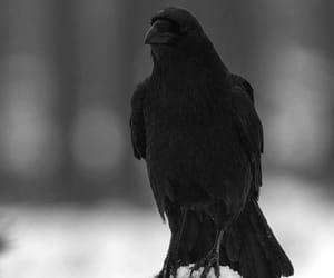 animal, bird, and raven image
