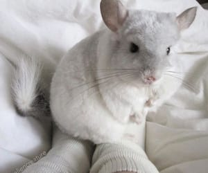 animal, Chinchilla, and white image