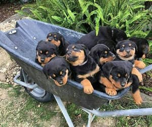 animals, rottie, and dogs image
