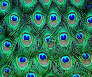 peacock, blue, and green image