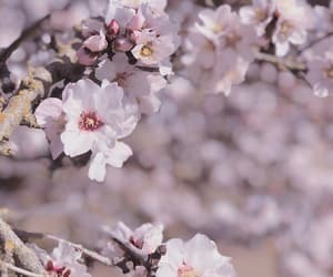 cherry blossoms, delicate, and nature image