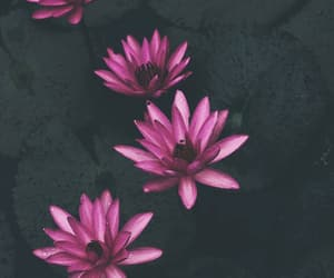 flower, flowers, and lotus image