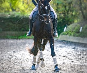 bay, dressage, and horse image