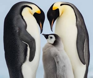 animals, penguin, and penguins image