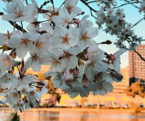 cherry tree, details, and flower image