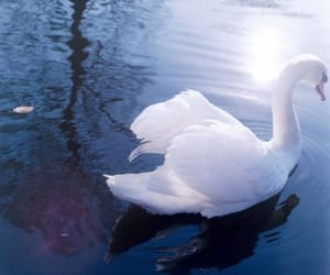 blue, Swan, and water image