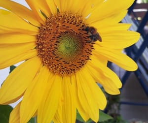 bees, summer, and sunflower image