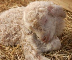 lamb and sheep image