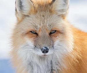 Red fox by Brittany Crossman
