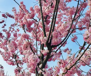 blossom, cherry, and nature image