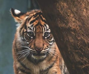 tiger, animal, and cat image