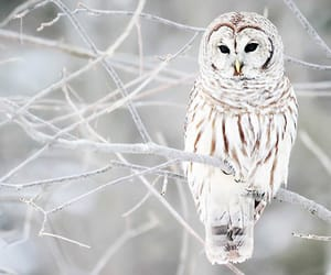 animals, owl, and snowy owl image
