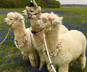 alpaca, animal, and Sweetie image