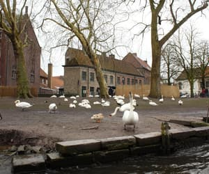 animals, cloudy, and Swan image