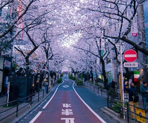 cherry blossoms, flowers, and hanami image