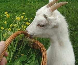 animal, goat, and flowers image