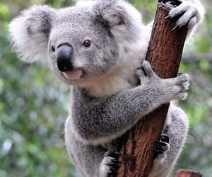 animal, help, and Koala image