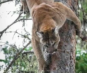 Animales, puma, and naturaleza image