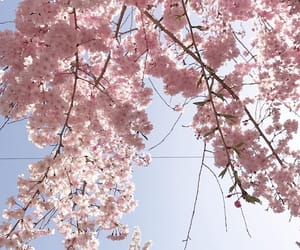 sakura, cherry blossom, and flowers image