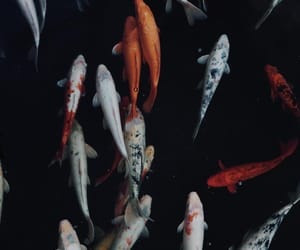 carp, dark, and fish image