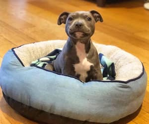 cutie, lovely, and pitbull image