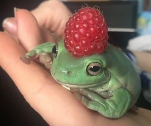 frog, raspberry, and cute image