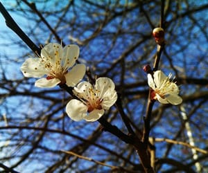 blooming, blossoms, and flower image