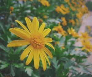 daisy, flower, and fresh image