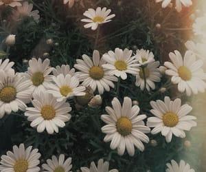 daisies, flowers, and shasta daisies image