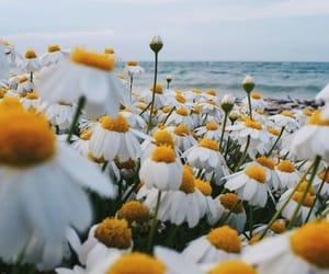 flowers, daisy, and chamomile image