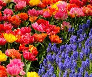 flower, summer, and keukenhof image