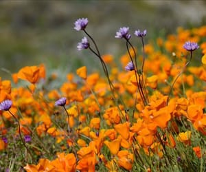 flora, poppies, and flowers image