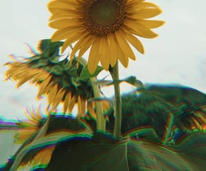 amo, flor, and sunflower image