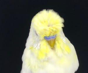 birds, budgerigar, and طيور image