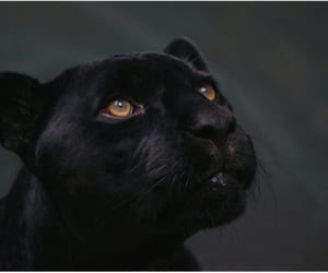 animal, black, and feline image