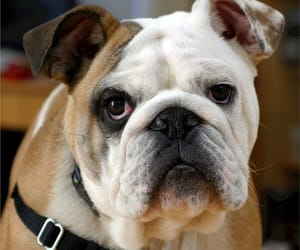 bulldog, dog, and animal image
