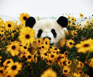 panda, animal, and flowers image