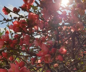 blossoms, nature, and pink image