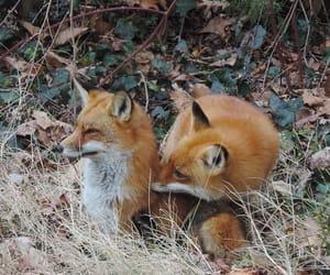 animals, autumn, and fox image