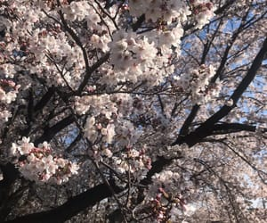 beautiful, cherry blossoms, and cherry blossom image