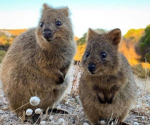 Animales, naturaleza, and quokka image