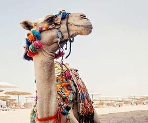camel, desert, and egypt image