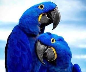 bird, blue, and parrot image