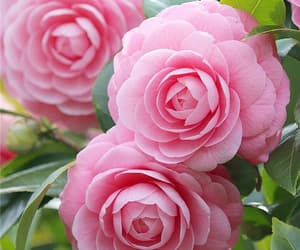 aesthetic, beauty, and camellia image