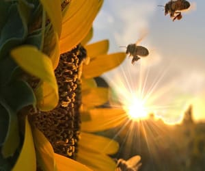 bee, sunflower, and sun image