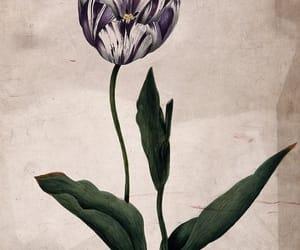 botany, plants, and tulips image