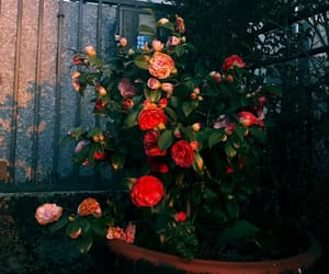 flowers, red roses, and roses image