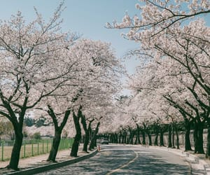 beauty, cherryblossom, and korea image