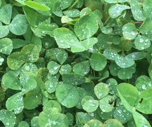 clovers, raindrops, and dew drops image