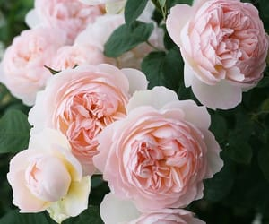 english, rose, and flowers image
